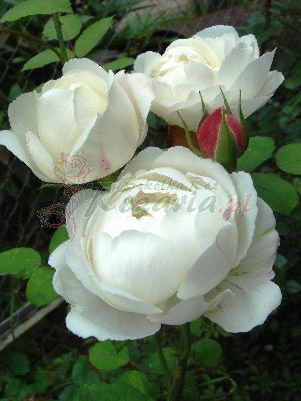 Krzaczaste Białe Róże Angielskie AUScat - Szkólka Róż Rozaria