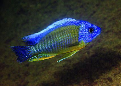 Protomelas fenestratus peixes gua doce pinterest for Malawi buntbarsch