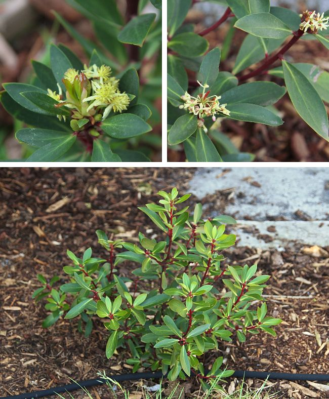 Mountain pepper - pepperberry - male and female flowers