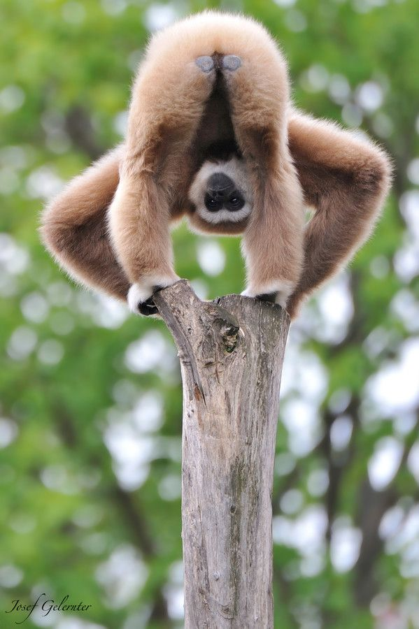 """Gibbon Monkey Showing Off.  """"Kiss This!""""  And some people say that animals have no emotions or feelings. HA!"""