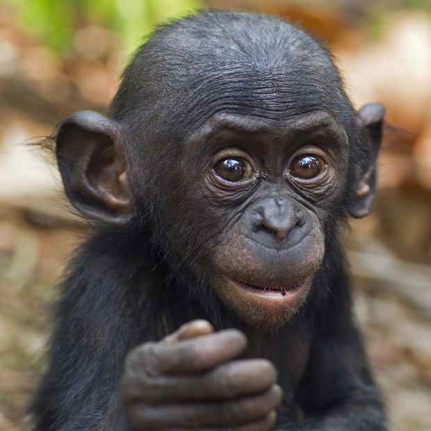 Bomango, a 10-month-old bonobo at Lola Ya Bonobo Sanctuary, Democratic Republic of Congo  Picture: Anup Shah and Fiona Rogers