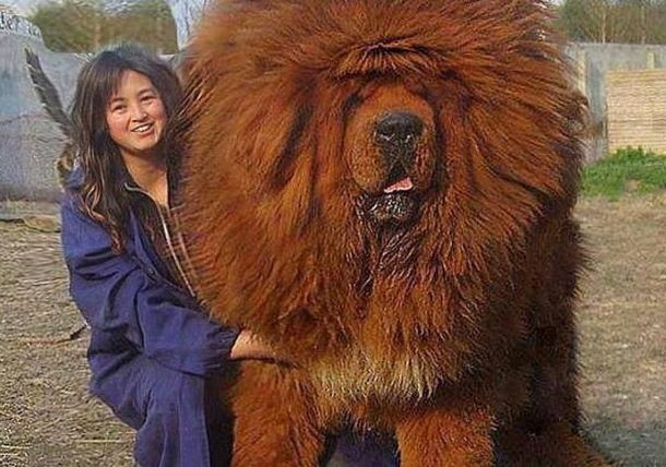 Тибетский мастиф. Самая дорогая собака на земле ! - Интересно и весело!