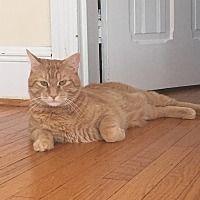 Cherry Hill, New Jersey - Domestic Shorthair. Meet Garfield, a for adoption. https://www.adoptapet.com/pet/19208827-cherry-hill-new-jersey-cat