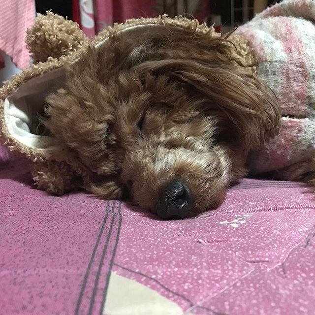 パジャマに着替えたら ソッコー寝た(笑) * * * #トイプードル#プードル#レッドプードル #レッドプー#ワンコ#犬#dog#doggy#愛犬 #親バカ#犬バカ#カメラ嫌い部#love#ラブリー #相思相愛#溺愛#ラブラブ#いぬ#kaumo #ペット#メロメロ#つぶらな目#ふわもこ #ボサボサ#おっさん顔 #わんこなしでは生きていけません