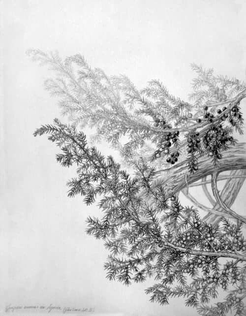 Gábor Emese botanical pencil drawing