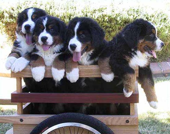 Sapphires Bernese Mountain Dogs, an Arizona Breeder of Champion Bernese Mountain Dogs, Carol Arbuthnot