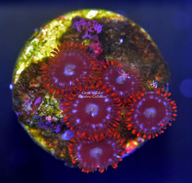 Fire & Ice Coral Polyps - Zoanthid Coral Frag - Live Coral for sale!