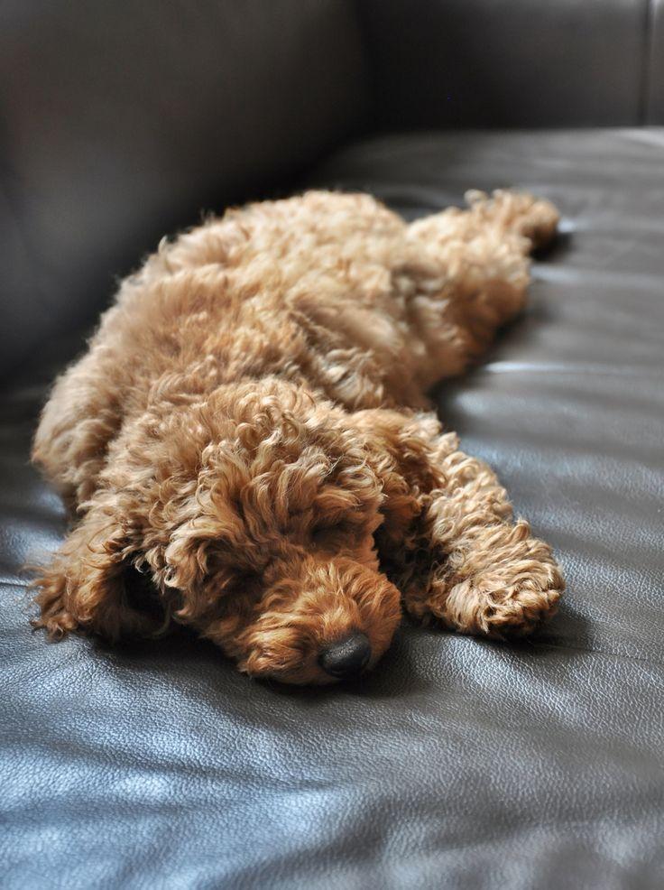 Poodle miniature, apricot, puppy,Nico,3.5 months https://www.facebook.com/niconki/