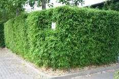 Bambus:Sichtschutz Bambushecken: Schnitt