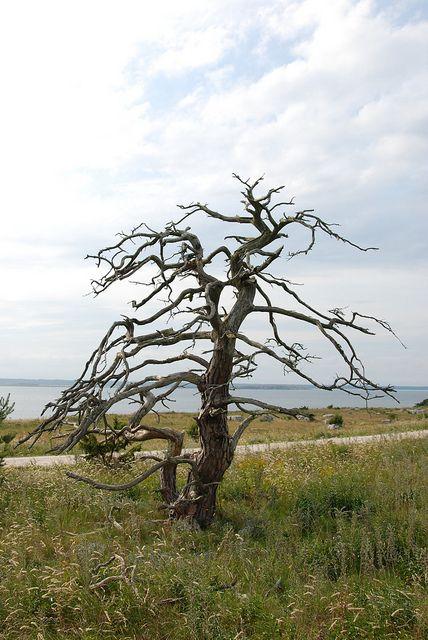 Dött träd, Furillen, Östra Gotland