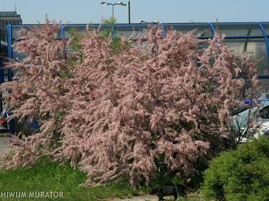 Tamaryszek czteropręcikowy = tamaryszek drobnokwiatowy - Krzewy liściaste - Baza roślin - rosliny.urzadzamy.pl
