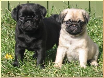 I WILL get a Pug one day !!!