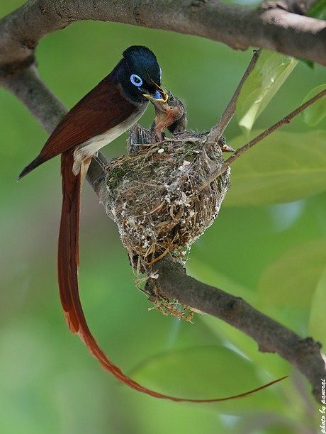 The Asian Paradise Flycatcher (Terpsiphone paradisi) is a medium-sized bird native to Asia. #Asia #Animal