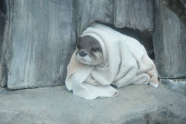 a river otter in a blanket