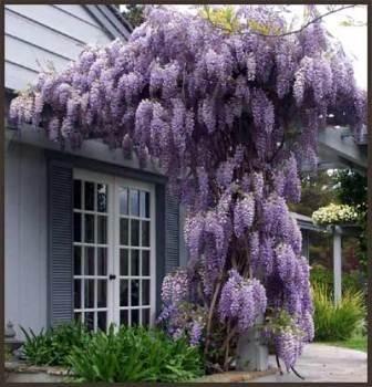 Violet 20pcs bag glycines chinois vigne jardin des - Graine de glycine ...
