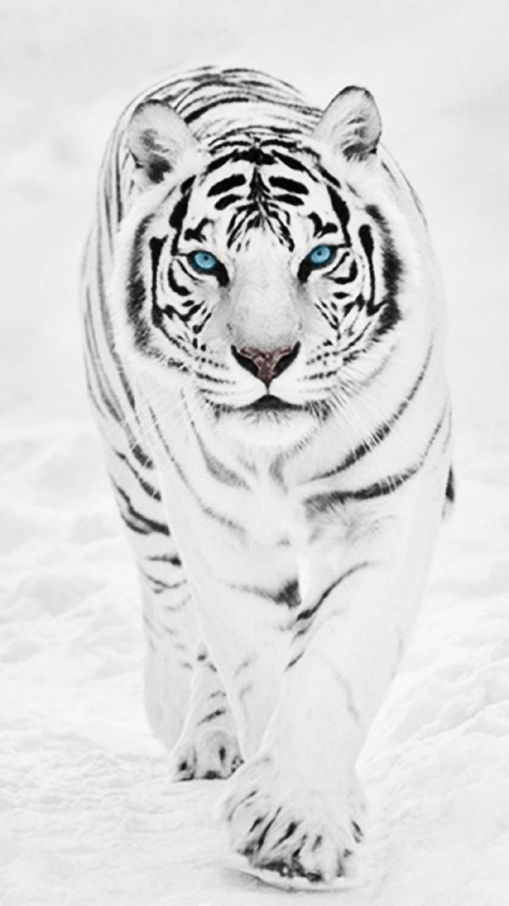 White Tigers Pictures Animal Photography in 2020 | Tiger pictures, Tiger  wallpaper, White tiger pictures