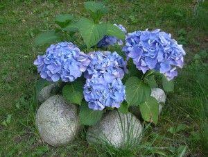 Modrá hortenzie