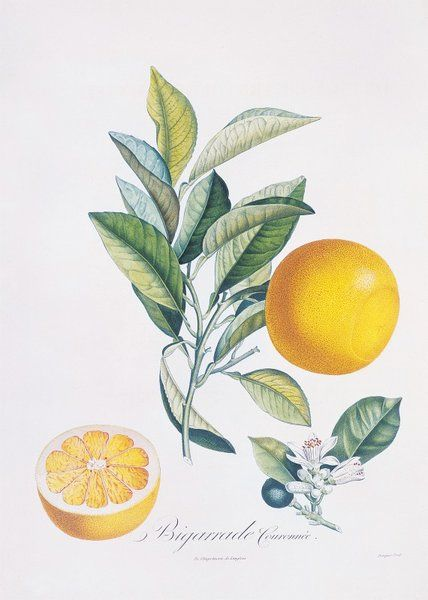 Orange Bigarrade Couronnée. Illustration from 'Pomologie Francaise' by Antoine Poiteau (1766-1854) - Vol 2, 1846. Hand-coloured engraving.
