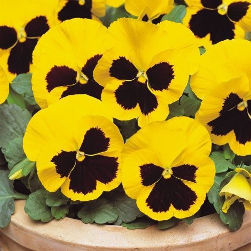 Viola Pansy Sorbet Viola Yellow Blotch Johnny Jump Up Flower Patio Planters Window Boxes Baskets Rockeries And Beds A Pansies Flowers Pansies Flower Seeds
