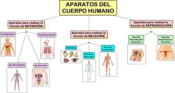 MAPA CONCEPTUAL Aparatos del cuerpo humano Cuerpo