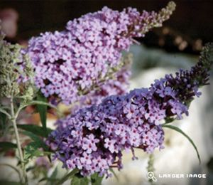 Buzz Buddleja (Butterfly Bush) dwarf - either Lavender or Sky Blue. 3-5ft