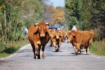 Vente directe de la viande de veau et de boeuf...