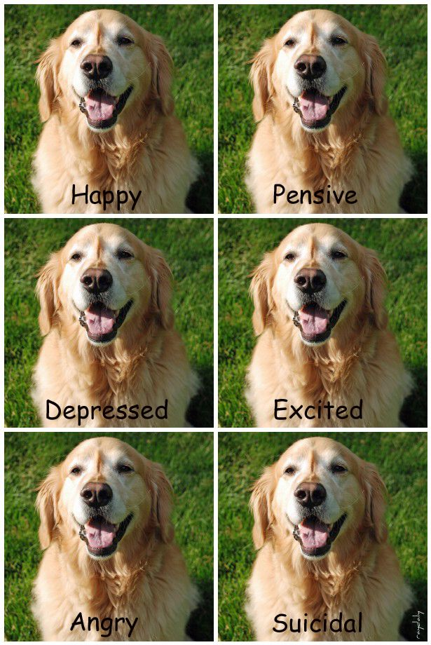 How to recognise the moods of a Golden Retriever