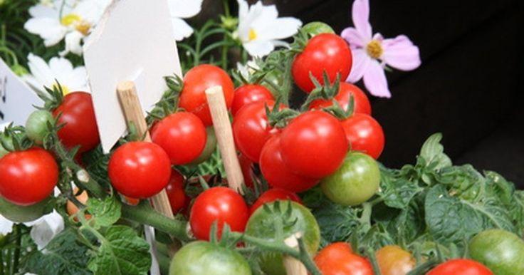Cómo cultivar tomates hidropónicos. Cultivar tomates por el método hidropónico es algo muy fácil de hacer y la recompensa será un resultado sorprendente. El tomate es uno de los vegetales cultivados con más éxito por este método. El crecimiento hidropónico implica el uso de un sistema que elimina la necesidad de suelo, haciéndolo un método muy adecuado para interiores. Las mejores ...