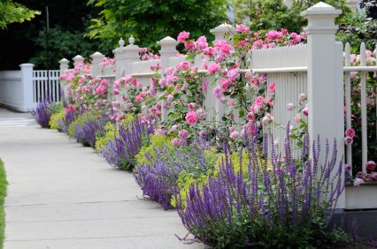 White wooden fence with flowers. Pink roses, blue sage, purple catmint, green and yellow lady's mantel. Colorful, elegant.