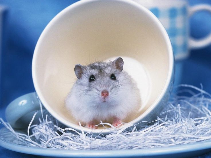 Cute Baby Hamster Picture Desktop HD Wallpapers Download Free