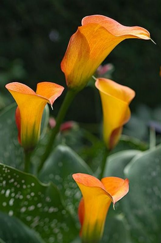 17 Best Images About Calla Lily On Pinterest Black