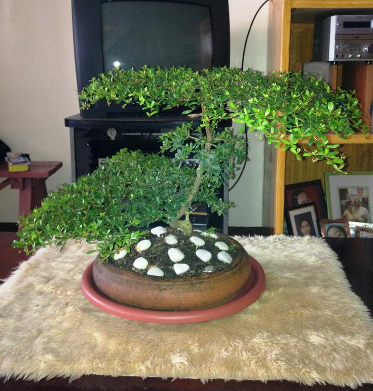 15 best bonsai images on Pinterest | Bonsai, Bonsai trees and Plants
