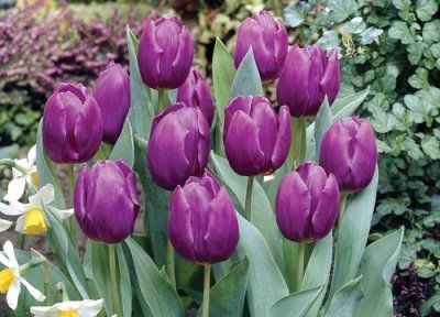 Tulip Bulbs On Sale | The Finest and Freshest Tulip Bulbs For Sale at Eden…