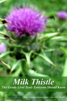 Milk Thistle Benefits – The Gentle Liver Tonic Everyone Should Know: Milk thistle benefits, how to use milk thistle seeds, and possible milk thistle side effects.