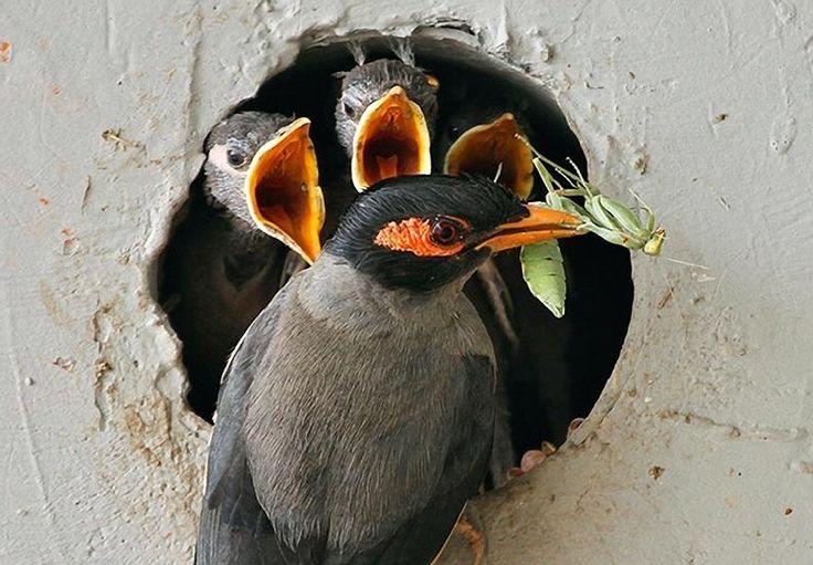 An Indian Myna Bird feeds a grasshopper to it's young