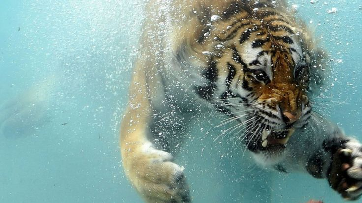 Diving tiger.