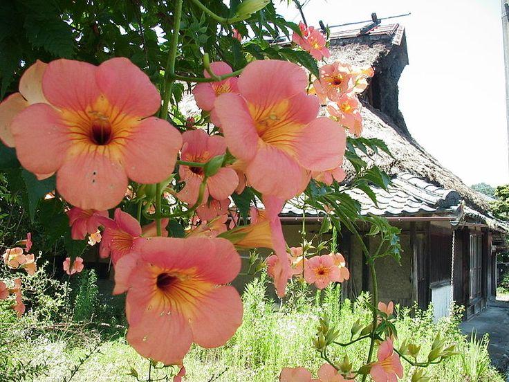 代表的つる植物であるノウゼンカズラ