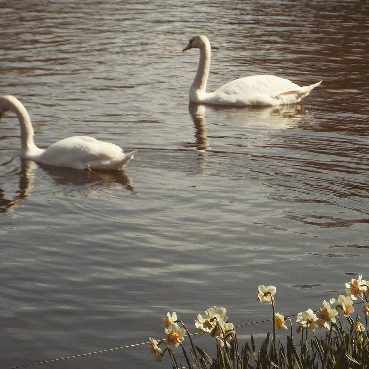 Netherlands. Swans.