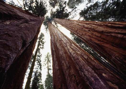 You've heard of California's renowned redwoods, but did you know about its sequoias? While redwood t... - DEA / C.DANI / I.JESKE + Getty
