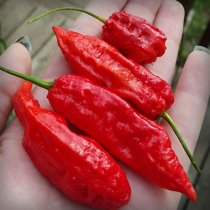 In 2007, the Bhut Jolokia (Ghost Pepper) was certified as the hottest Chili Pepper on the planet, but no longer holds that title.