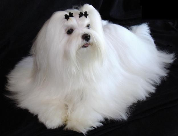 Maltese Puppies | Maltese Breeders | Puppies for sale | Dogs