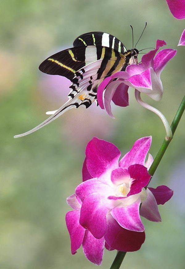 Swordtail Symphony - Swordtail butterfly on orchid
