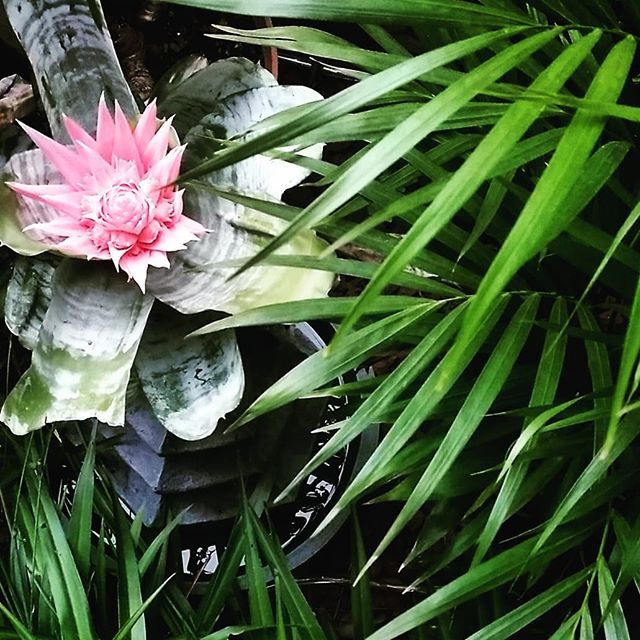 A bit of the front garden . .  #topview #home #palmleaves #bromeliads #pinkandgreen #greenandpink  #nature #outdoors