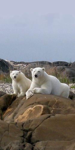 Polar Bears - so pretty!                                                                                                                                                     More