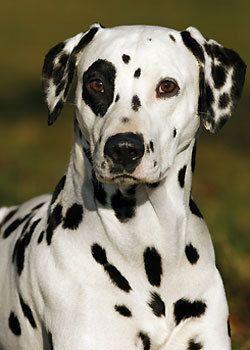 Patch, chien Dalmatien