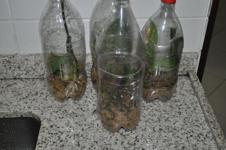 Se sua orquídea está com poucas raízes verdes, raízes pequenas, e com aparência de debilitada?   Existe um jeito de recuperá-las!    Na UTI...