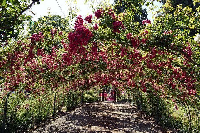 Rose Garden in Tacoma, Washington