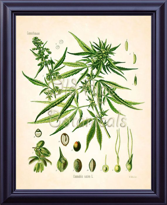 Plate name: Cannabis  Catalog # LBF0721  Image size approximately 11X14 inches  Paper size 11X14 inches  Finish Matte    The listing is for one