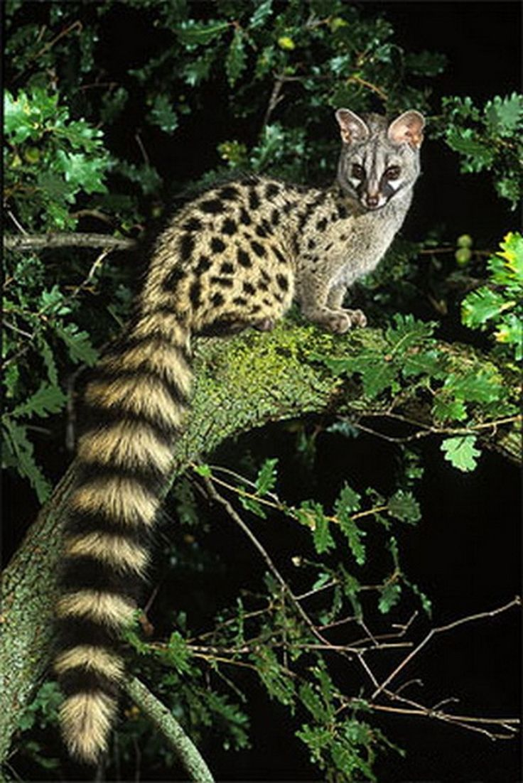 A genet is a member of the genus Genetta, which comprises 14 to 17 species of small African carnivorans. Genet fossils from the Pliocene have been found in Morocco. The common genet is the only genet present in Europe and occurs in the Iberian Peninsula and France (Wikipedia).                                                                                                                                                                                 Mais