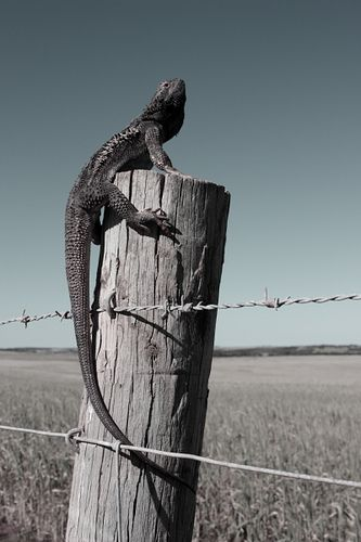 Bearded Dragon eyre peninsula australia by tim phillips photos, via Flickr